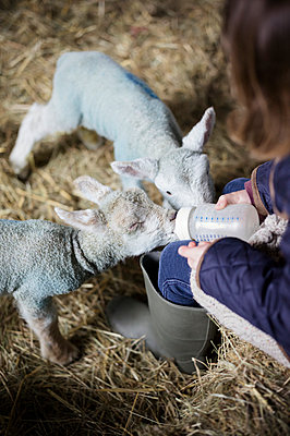 A girl bottle feeding a small hungry lamb. - p1100m906709f by Emily Hancock