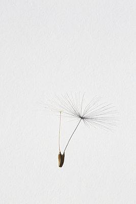 Dandelion seed and his shadow - p1682m2260610 by Régine Heintz