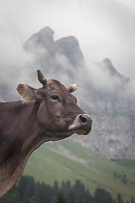 Braunvieh in Appenzell - p745m1061008 von Reto Puppetti