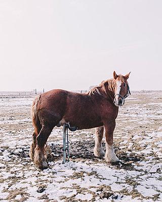 Pferd kratzt sich - p1085m880898 von David Carreno Hansen