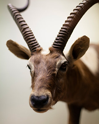 antelope - p1214m1531772 by Janusz Beck