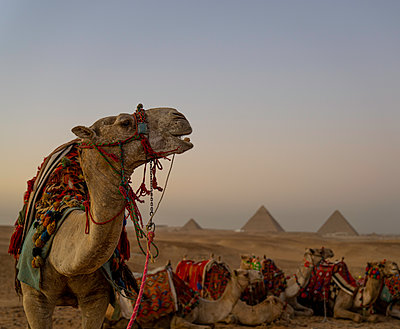 The Pyramids of Giza, UNESCO World Heritage Site, with camel, Cairo, Egypt, North Africa, Africa - p871m2209544 by Spencer Clark