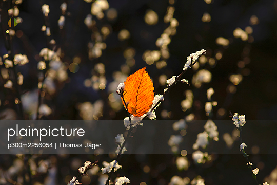 Single leaf on frosted tree branch in winter - p300m2256054 by Thomas Jäger