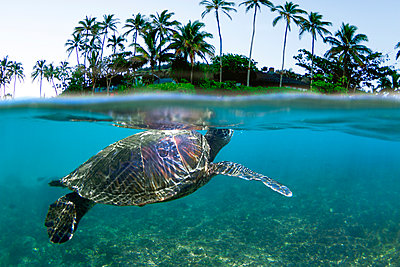 Underwater View Of Hawaiian Sea Turtle - p1424m1500963 by Sean Davey