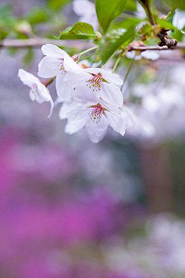 Cherry blossoms - p307m826839f by Tadao Yamamoto