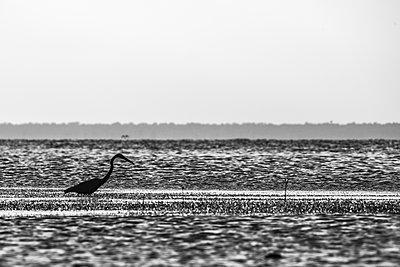 Grey Heron (Ardea cinerea), San Carlos, Baja California Sur, Mexico - p429m2068305 by Rodrigo Friscione