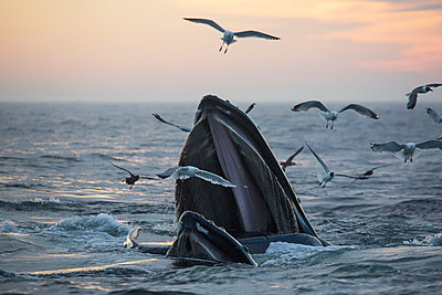 Humpback whale  and a flock of birds on the surface of the water at sunset; Massachusetts, United States of America - p442m1033682 by Eric Kulin