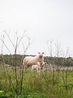 Drei Schafe - p1021m1537867 von MORA
