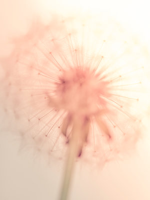 Dandelion Seeds - p401m1203103 by Frank Baquet