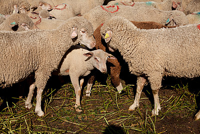 Sheep - p522m894192 by Pauline Ruhl Saur