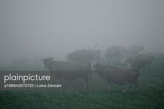 Cows in the mist - p1683m2272733 by Luisa Zanzani