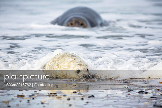 Germany, Helgoland, Duene Island, Grey seal (Halichoerus grypus) and grey seal pup at beach - p300m2213762 by Fotofeeling