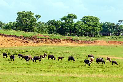 Rinderherde auf der Weide - p1108m1441254 von trubavin