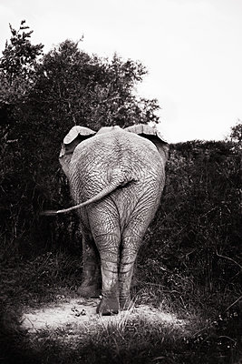 The hind quarters of an elephant South Africa - p312m1076638f by Susanna Blavarg