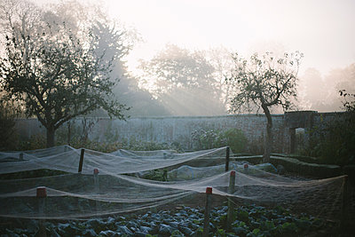 Nets covering plants in walled kitchen garden on misty morning - p429m958554f by Henry Donald