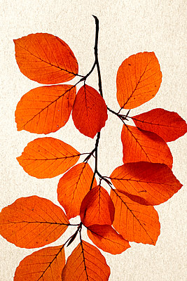 Autumn leaves - p450m1190900 by Hanka Steidle