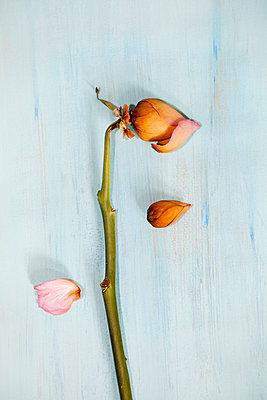 Dried Rose Bud Stem - p1072m1056633 by miguel sobreira