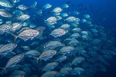 School of jack fish, Puntarenas, Costa Rica - p429m2019325 by Rodrigo Friscione