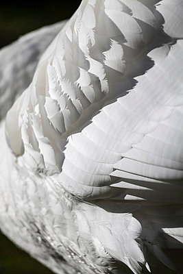 Detail of a swan - p739m731573 by Baertels
