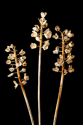 Dried Grape hyacinth flower seed heads against a black background - p1302m2204336 by Richard Nixon