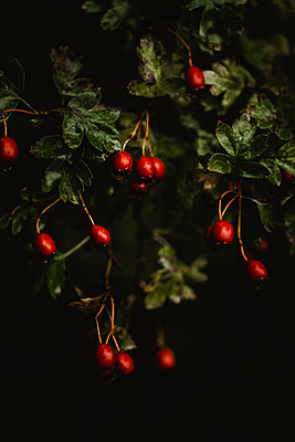 Red berries hanging from branches in the rain - p1628m2212014 by Lorraine Fitch