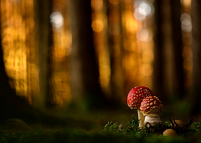 Close-up of two fly agarics (Amanita muscaria) growing in forest - p300m2197399 by Brigitte Stehle