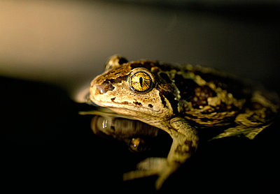 Close-up of spadefoot toad - p5756310f by Brannstrom, Par