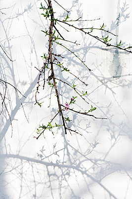 Cherry blossom - p1159m951586 by Anna Rozkosny