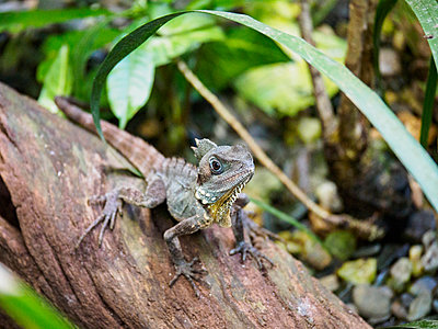 Boyd's forest dragon (Lophosaurus boydii) standing on branch - p1427m1504575 by WalkerPod Images