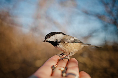 A bird perched on human hand. - p343m989225f by Christopher Kimmel photography