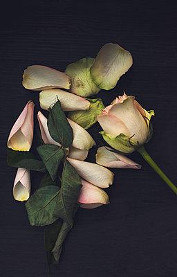 Wilted rose - p971m1091490 by Reilika Landen