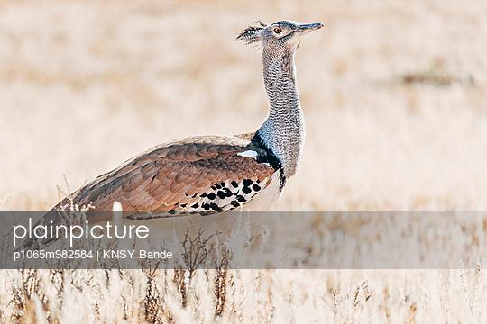 Eine Riesentrappe, Kalahari, Afrika - p1065m982584 von KNSY Bande