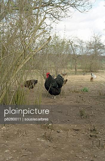 Hühner - p8280011 von souslesarbres