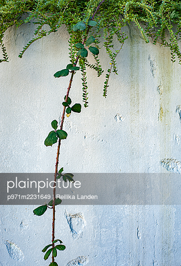 Weathered wall and plants - p971m2231649 by Reilika Landen