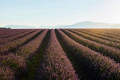 Lavendelfeld, bei Valensole, Plateau de Valensole, Alpes-de-Haute-Provence, Provence, Frankreich - p1316m1161028 von Daniel Schoenen