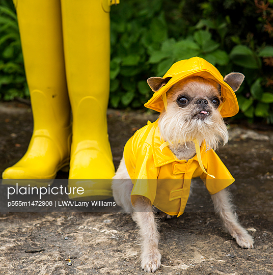 Dog wearing rain coat and rain hat