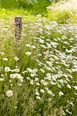 Meadow with marguerits - p533m1425591 by Böhm Monika