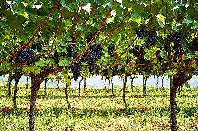 Rebstöcke im Weinberg - p851m1116285 von Lohfink