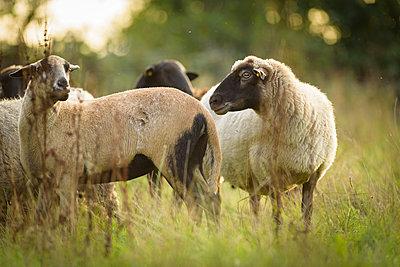 Schafe in Norddeutschland - p1273m2045659 von melanka