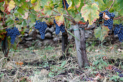 Bunches of grapes growing in a vineyard - p301m744397f by Marc Volk
