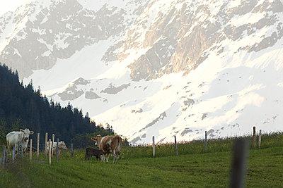 Frühmorgens auf der Kuhweide - p606m1462344 von Iris Friedrich