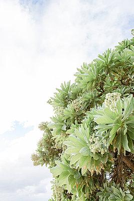 Baum in Mauritius am Strand 2 - p1042m1168585 von Cardinale
