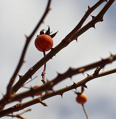Withered rose hips - p1578m2173236 by Marcus Hammerschmitt