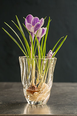 Crocus with flower bulb and roots in flower vase - p948m2134099 by Sibylle Pietrek
