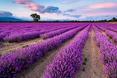 Splendid lavender field - p1166m2113189 by Cavan Images