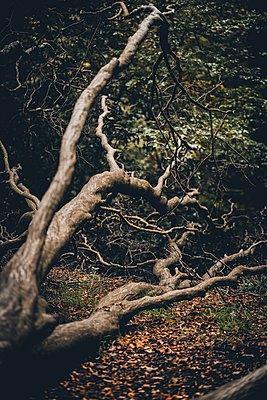 Knorriger Baum im Herbstwald - p1628m2228424 von Lorraine Fitch