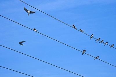 Vogelschwarm auf Stromleitung - p265m1043319 von Oote Boe