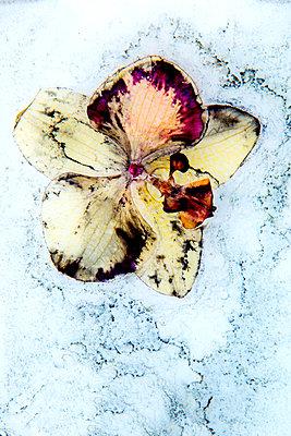 Orchid - p451m2258044 by Anja Weber-Decker