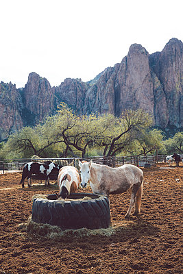 Horses in a paddock, Arizona, USA - p756m2157838 by Bénédicte Lassalle