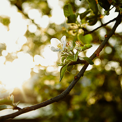 Blossoming trees - p844m1039483 by Markus Renner